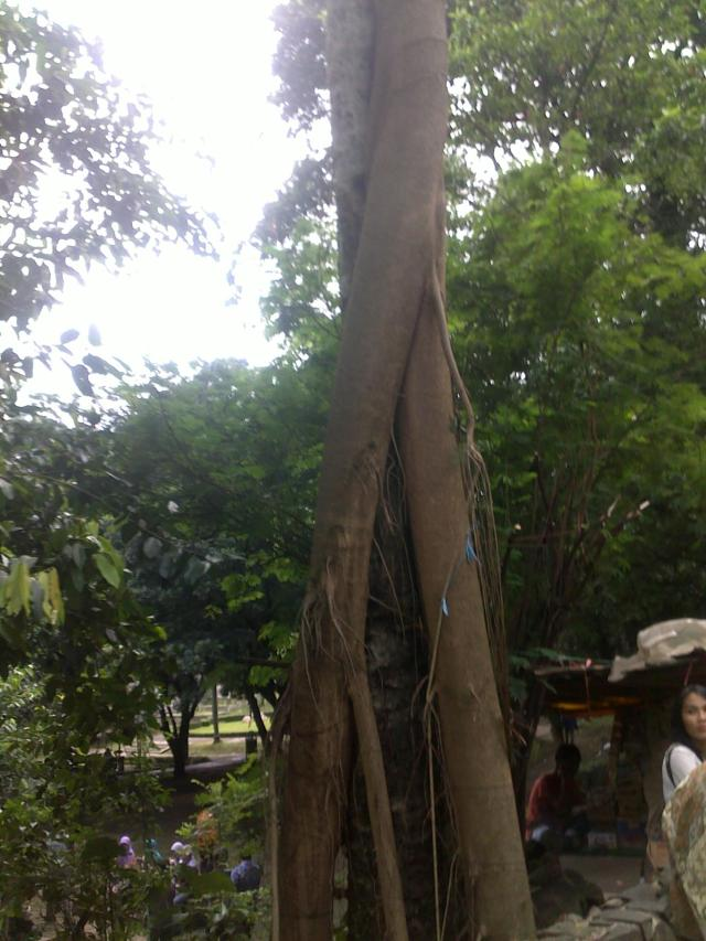 Batang pohon mahoni melilit batang pohon kelapa (foto lebih dekat)