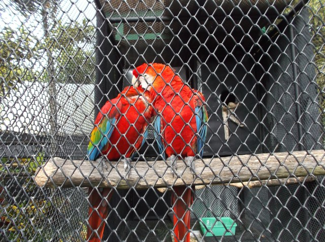 Dua burung macaw sedang bercengkerama.