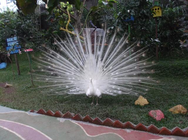 Burung merak putih yang anggun.
