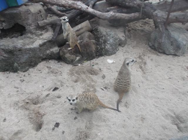Waaah... ada meerkat, hewan gurun pasir sahara yang lucu.